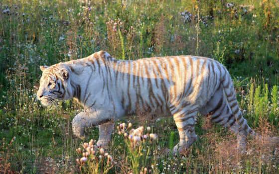 тигры, tigre