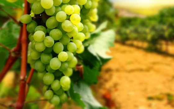 виноград, bunch, листья