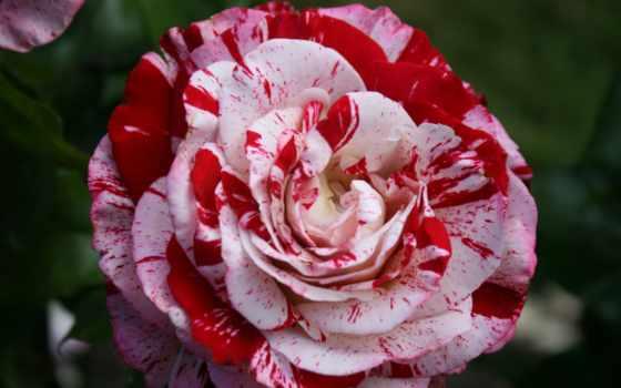 роза, peppermint, gorgeous, flowers, roses, free,