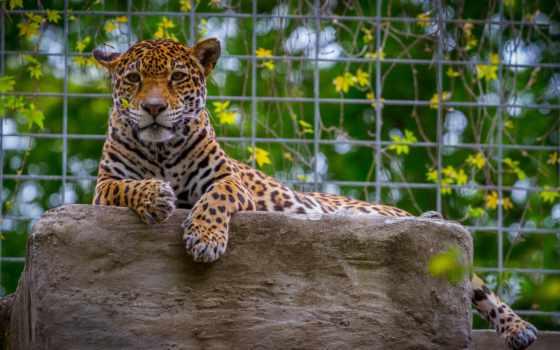 изображение, кошки, большие, animals, картинка, zhivotnye, биг, cats, ягуары, desktop,