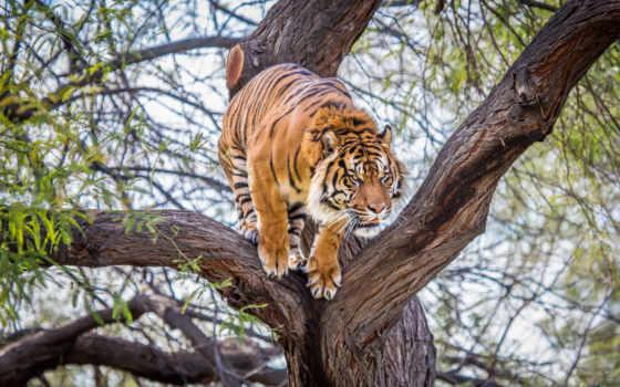 тигр, против, тигра