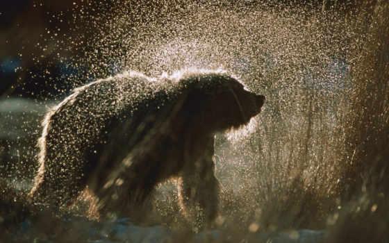 медведь, браун, ursus