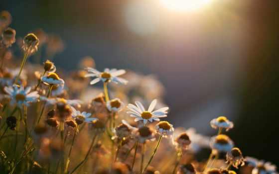 flowers, фон, one, fone, widescreen,