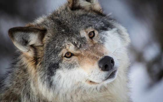 волк, серый, взгляд, хищник, морда, свет, portrait, северной,