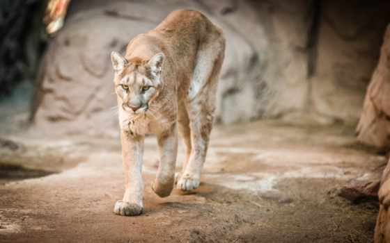 lion, cougar, puma, гора, кот, дикая, морда,