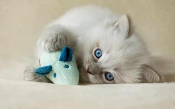 лысый, кот,