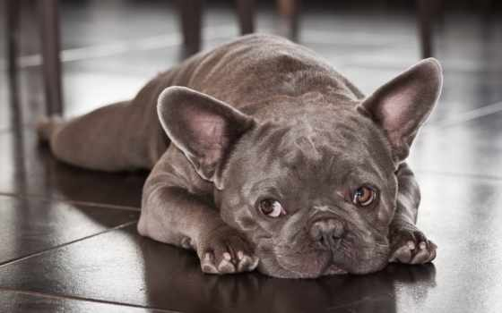 french, bulldog, sale, щенок, собака, объявление, subscription, нее, case