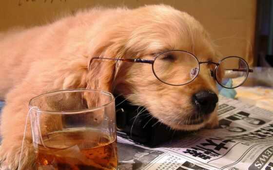 point, собака, retriever, золотистый, glass, газета, animal, щенок, стиль
