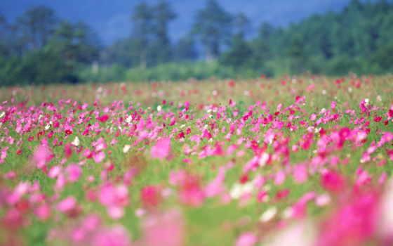 цветы, поле, лето