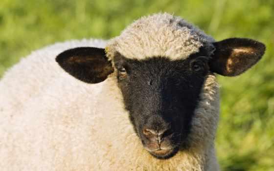sheep, овцы, more