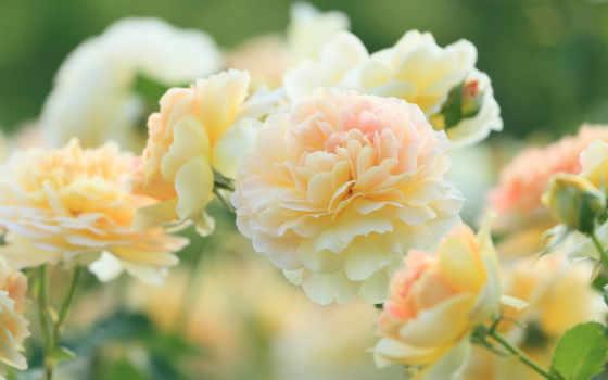 розы, розовые, размытость, бежевые,