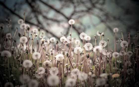 hintergrund, pusteblume, löwenzahn
