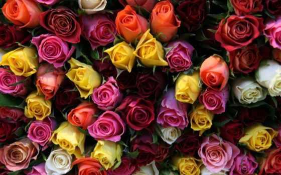 розы, цветы, красивые, букет, картинка,