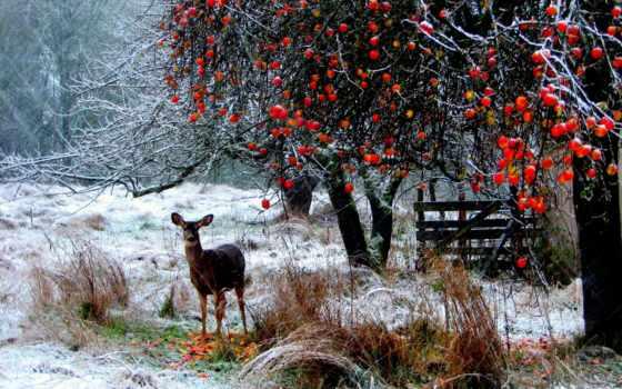 яблоки, снег, лань, trees, трава, winter, природа, лес, снегу, длинные,