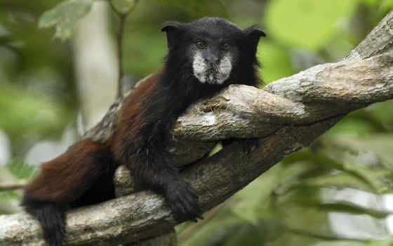 обезьяны, pacaya, samiria