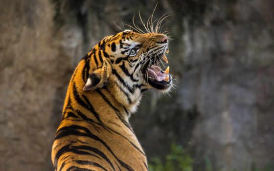 тигр, хищник,