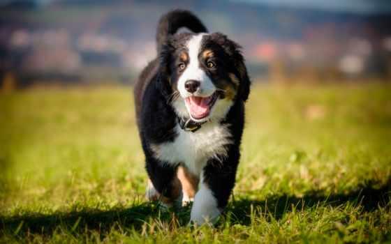 bernese, cane, del, собака, cani, bovaro, animali, sfondi, гора, scarica, domestici,