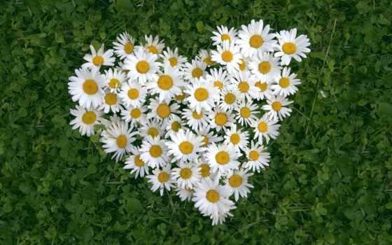 day, сердце, цветы, ромашки, картинку, full, чтоб, был, любви, белые, трава, листья, love, влюбленных, valentines,