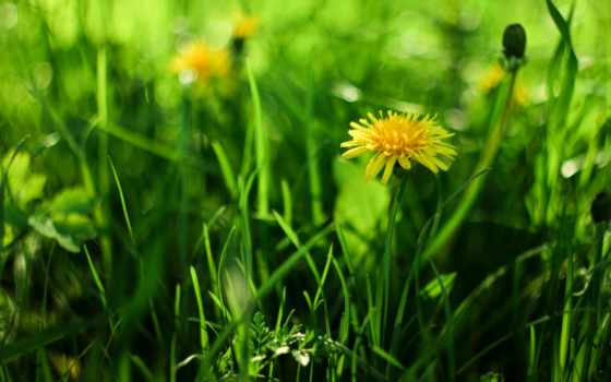 изображение, трава, одуванчик