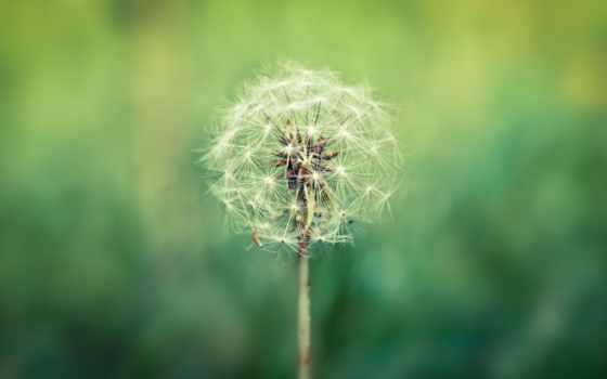 одуванчик, white, fone, макро, cvety, природа, зелёный, цветы, семена,
