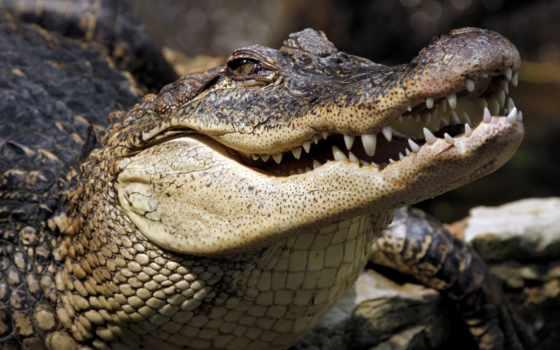 крокодил, замерз, звезд, крокодила, дек, цирка, доехав, сегодня, крокодилы, description, за,