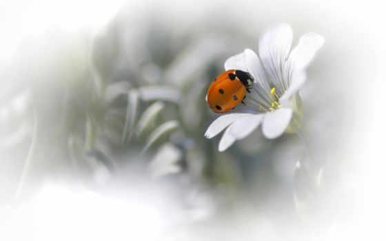 ladybug, природа, фон, цветы, bugs, макро, petals, desktop,