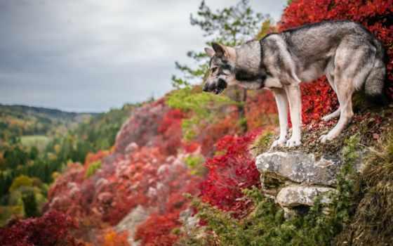 wolfdog, каждый, und, собаки, фон, натуральная,