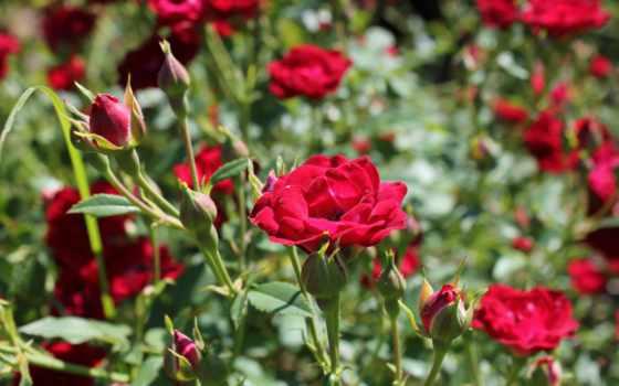 roses, hybrid, чая,