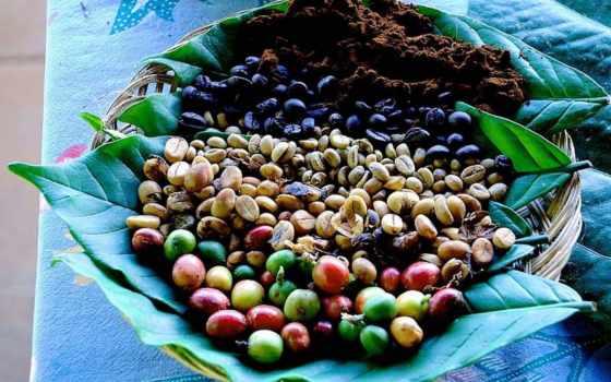 coffee, зерна, кофейные, выращивают, кофейного, купить, выращивание, условиях, выращивания,