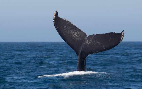 ocean, море, кит, humpback, albino, casa, white, interiore, пляж, kripto