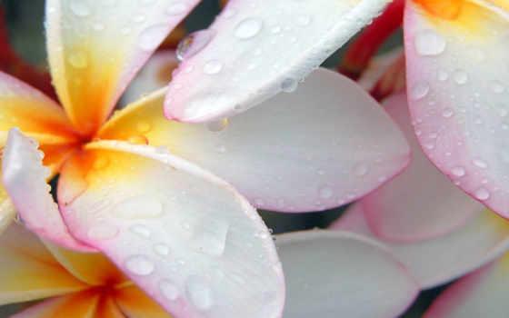 цветы, макро, капли
