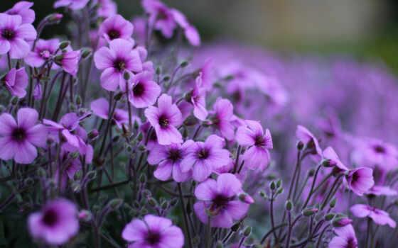 сиреневые, цветы, лепестки
