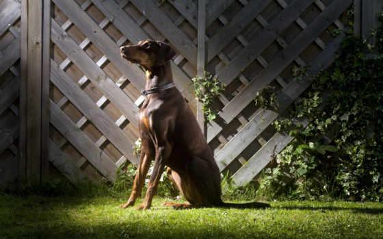доберман, zhivotnye, собака, породы, собаки, сидит,