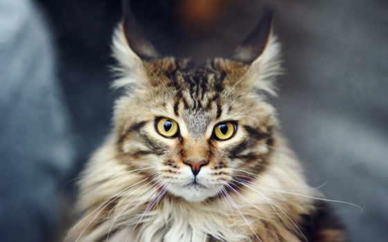 kun, mein, кот, породы, кошек,