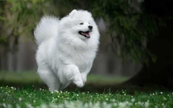 собака, порода, little, хаски, samoedskii, мишка, пушистый, white, плюшевый, биг