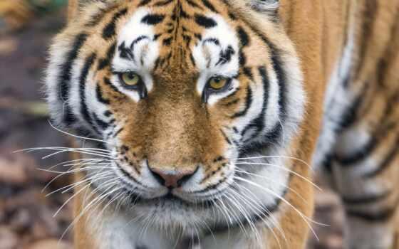 тигр, кот, бенгальский, биг, animal