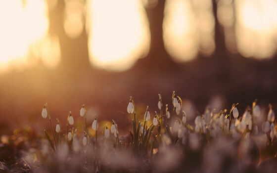 цветы, природа, подснежники