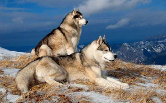 хаски, снег, собаки