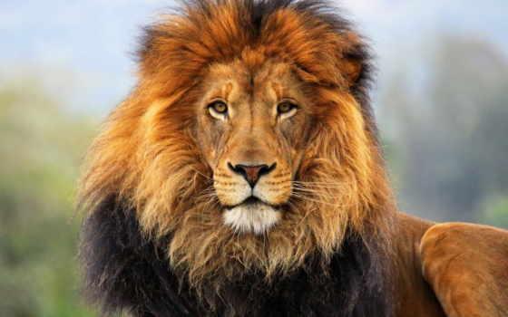 грива, морда, lion