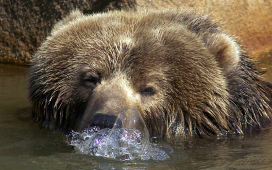 медведи, животные, бурые