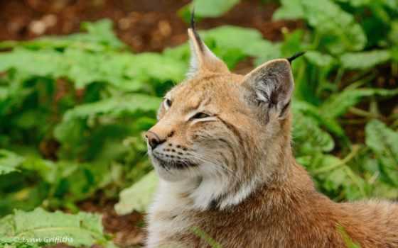 кошка, дикая, хищник, заставки, рысь, кошки, категории, zhivotnye, бесплатные, тигр, морда,