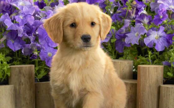 retriever, золотистый, labrador, puppies, щенок, cute, dogs,