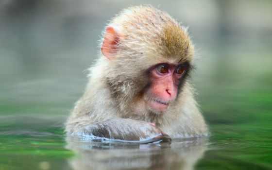 обезьянка, обезьяны, zhivotnye, воде, обезьяна, макака, макак, water, грустная,