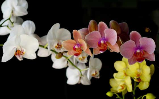 ecran, fonds, орхидеи, орхидея, цветы, нежные, красивые, букет, orchidées,
