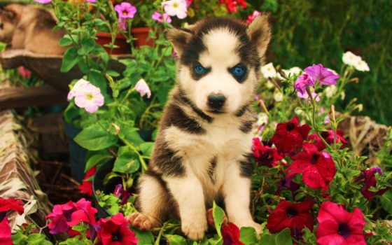 eyes, хаски, blue, lab, щенок, chocolate, flickr,