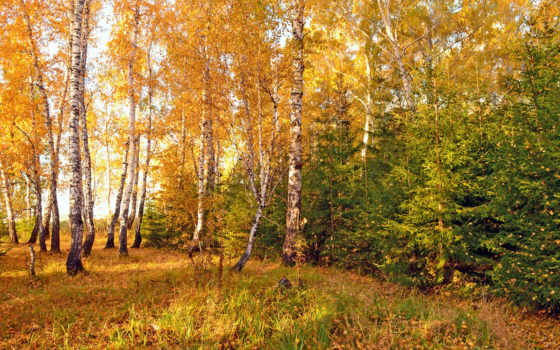 grove, картинка, природа, осень, золотая, отговорила, березы, времена, года, языком,