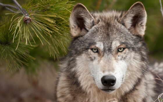 zhivotnye, волки, беларуси