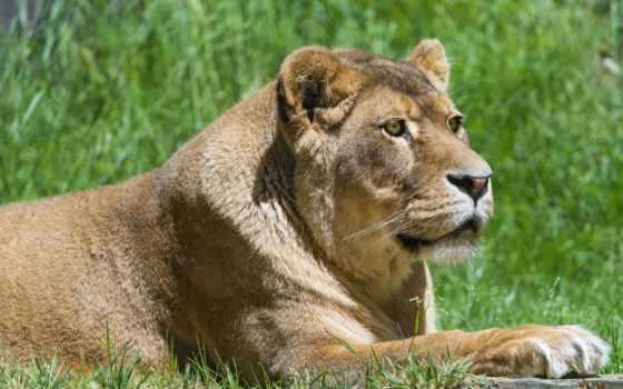 zhivotnye, кошки, большие, картинка, львица, взгляд, львы, природа, taustapildid,
