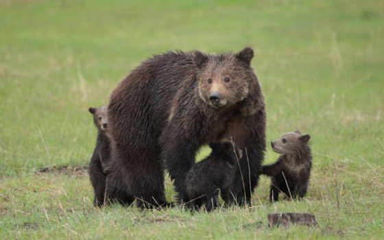 grizzly, медведь, таблице, одно, этого, картинку, higher, природа, детёныш, black,