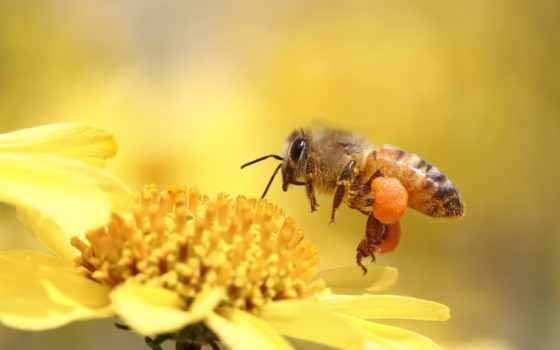 makro, пчела, насекомое